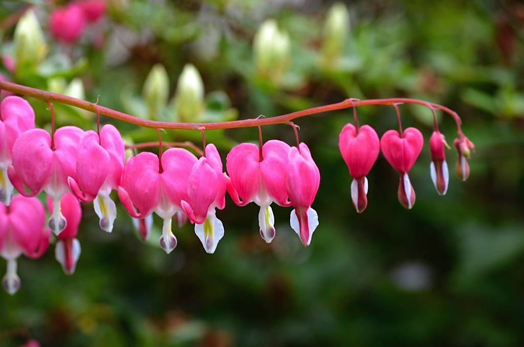 bleeding-heart-1